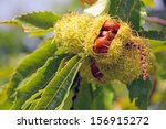 A Ripe Chestnut On A Tree In...