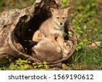 Coyote Pups With Mother In Log...