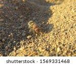 Velvet Ant On The Sand Late...