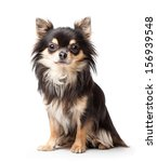 Stock photo chihuahua isolated on white background 156939548