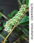 Calleta Silkmoth Caterpillar ...