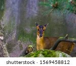 Small photo of female chinese muntjac in closeup, Barking deer from asia, Small doe