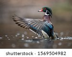 A Wood Duck Drake In...