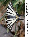 The Scarce Swallowtail...