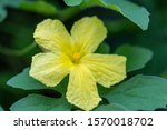 Close Up Flower Balsam Apple I...