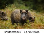 Wild Boar Sounder  Mother And...