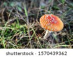 Red Toadstool Growing In The...