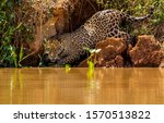 A male Jaguar hunting on the banks of the river in the Pantanal region of Brazil - stock photo