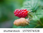 The Loganberry Rubus  ...