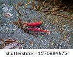 Wild  Red Sockeye Salmon...
