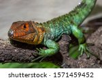 """Small photo of The northern caiman lizard (Dracaena guianensis) at the Zoo """"Safari Madrid"""" unthinking on a branch"""