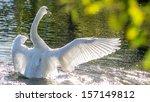 Swan Bathing In Glistening...