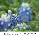 Bluebonnet Wildflower Framed...
