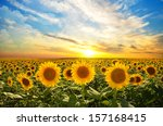 Field Of Blooming Sunflowers On ...