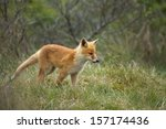 red fox cub | Shutterstock . vector #157174436