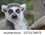 A Ring Tailed Lemur Staring At...