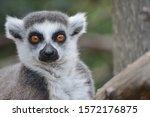 A Ring Tailed Lemur Staring At...