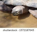 A Peeping Snapping Turtle In A...