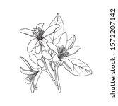 citrus flowers branch. neroli... | Shutterstock .eps vector #1572207142