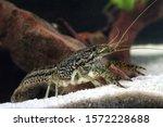Aquarium Pet Marbled Crayfish ...