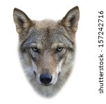 Face Of A Grey Wolf Female ...
