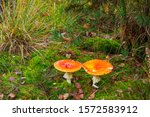 Amanita Muscaria  Fly Agaric Or ...