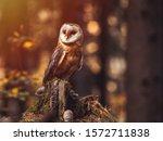 Barn Owl  Tyto Alba  Sitting O...