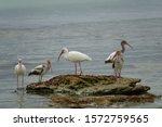 Five ibises standing on rock...