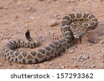 Dangerous Rattle Snake  Coiled...