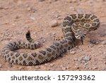 Dangerous Rattle Snake  Coiled...
