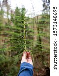 Horsetail Fern Plant In The...
