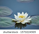 Water Lily Flower On The Lake...