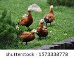 Four Ducks On The Green Grass