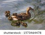 Mallard Duck Female  Anas...