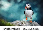 Atlantic puffins bird or common ...