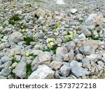 White Blooming  Alpine Poppy Or ...