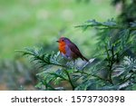 Robin Redbreast Bird  European...