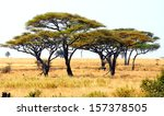 african landscape with a acacia ... | Shutterstock . vector #157378505