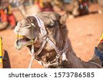 An Angry Camel Opens His Mouth...