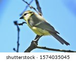 Isolated Blue Tit On A Branch.