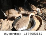Geese Eating Food In A Trough