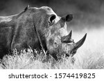 White Rhinoceros  Rhino Bull...