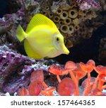 Aquarium Fish Zebrasoma