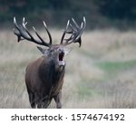A Roaring Red Deer Stag ...