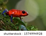Closeup of strawberry poison-dart frog Oophaga pumilio with blurry background in Costa Rican rainforest