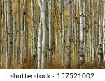Tranquil Aspen Glade In The...