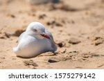 Australian Seagull Under The...
