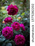 """Small photo of a purple rose """" Darcey Bussell """" in the garden"""