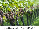 Pink Grapes in the Vineyard By Harvest Time - stock photo