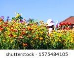 Straw Flower Field In Garden On ...